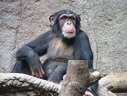 Imatge relacionada amb ximpanzé
