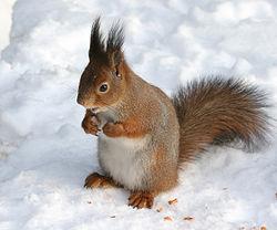 Imatge relacionada amb esquirol
