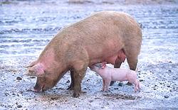 Imatge relacionada amb porc