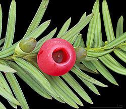 Imatge relacionada amb teix