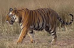 Imatge relacionada amb tigre