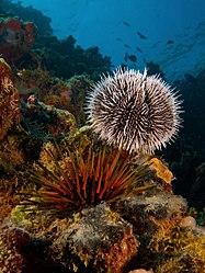 Imatge relacionada amb eriçó de mar