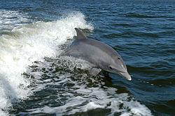 Imatge relacionada amb dofí