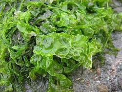 Imatge relacionada amb alga