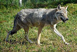 Imatge relacionada amb llop