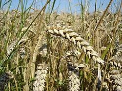 Imatge relacionada amb blat