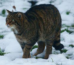 Imatge relacionada amb gat salvatge